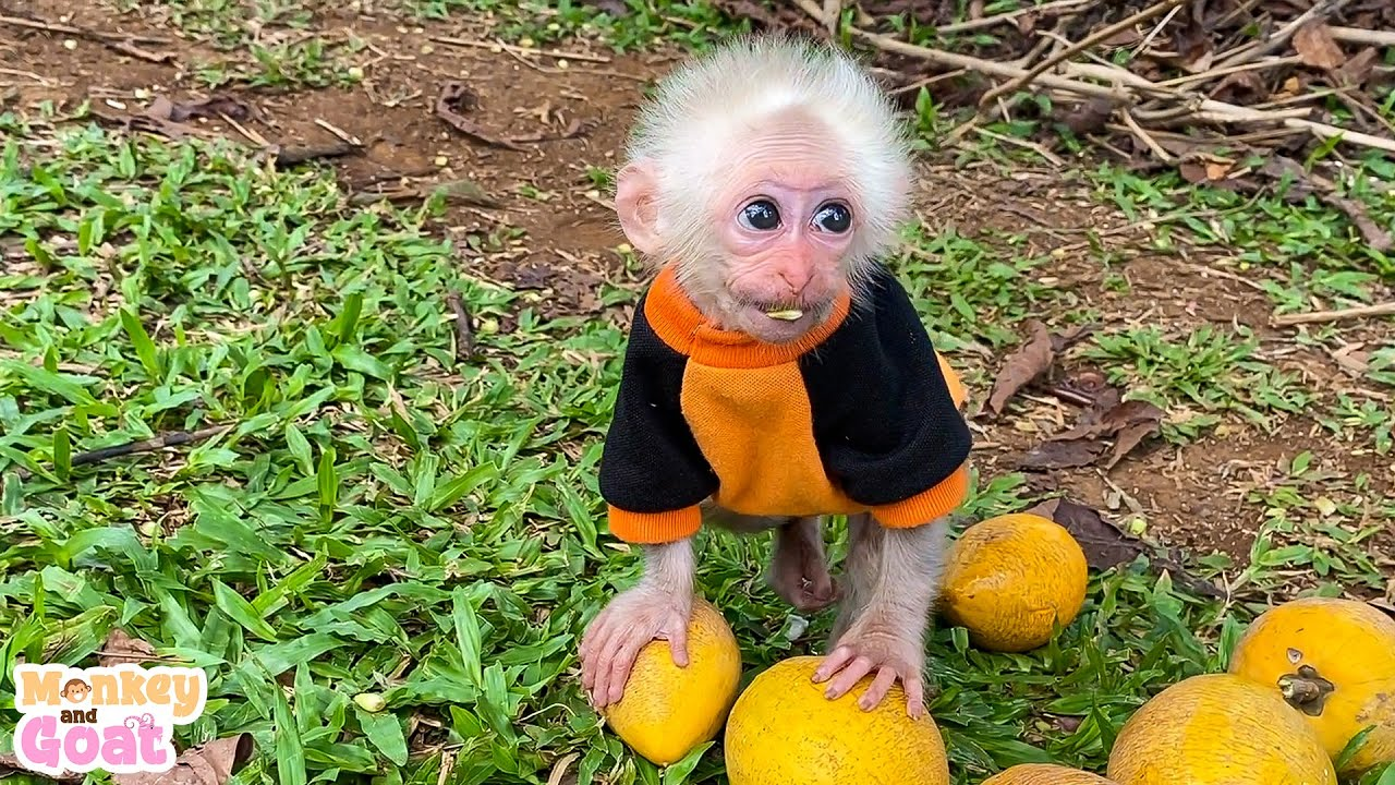 Baby monkey Amee pick fruit in the forest