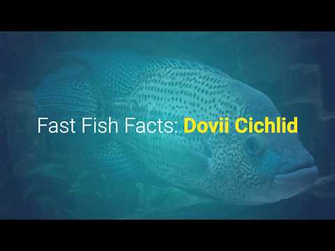 Dovii Cichlid: Fast Fish Facts