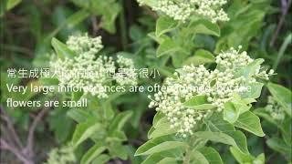 茄萣濕地植物系--臭娘子Qieding wetland flora-Premna serratifolia