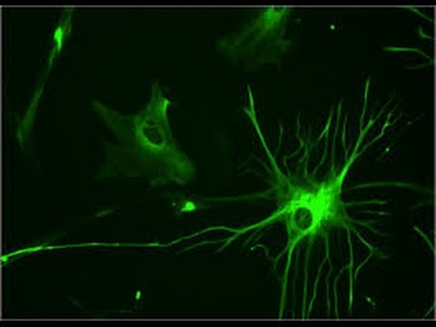 EMP Neurociencias: Glia