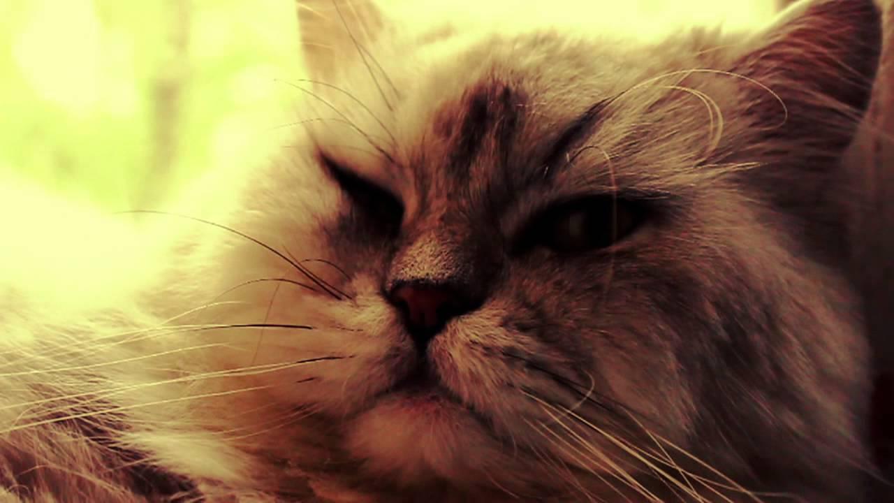 Мурлыкает кот видео
