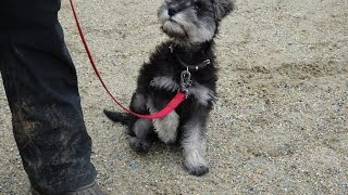 Remy - Miniature Schnauzer Puppy - 2 Week Residential Dog Training at Adolescent Dogs