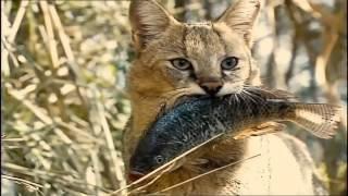 ▶Камышовый кот   Jungle cat или