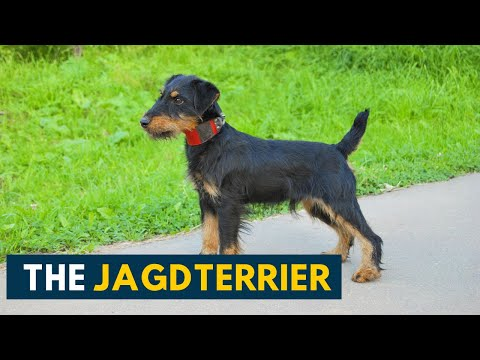Jagdterrier: Your Guide To This Fearless Little Hunter Dog Breed!
