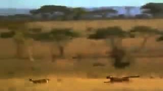 video manusia mengalahkan chetah