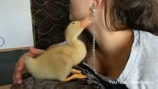 Cute Duckling Reloaded - Cute Duck