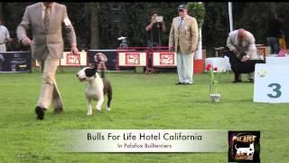 Bull Terrier- Bulls For Life Hotel Califoria