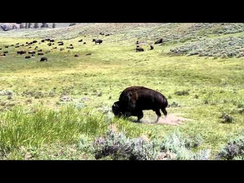 Bison encounter in YELLOWSTONE