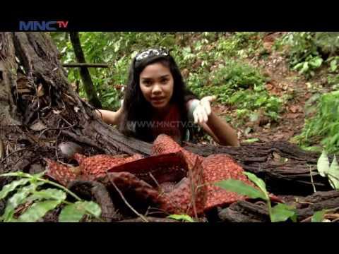Ekspedisi Bunga Rafflesia Arnoldii di Bengkulu  - Let's Go (27/11)