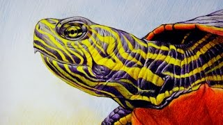 FREE LESSON In How To Draw Western Painted Turtle, Demonstration In Time Lapse By Shellhammer