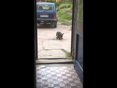 Собаки в омутнинске
