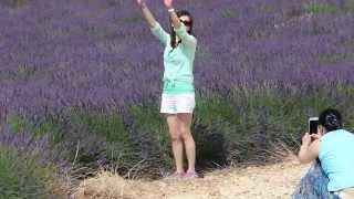 Lavender farms, Valensole, South France 3/3