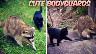 Blind Raccoon Rescues Two Kittens, Then They Become His Bodyguards