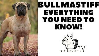 Bullmastiff  Everything you need to know!  DogcastTV!