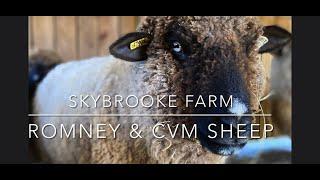 Skybrooke Farm : Romney & CVM/Romeldale Sheep