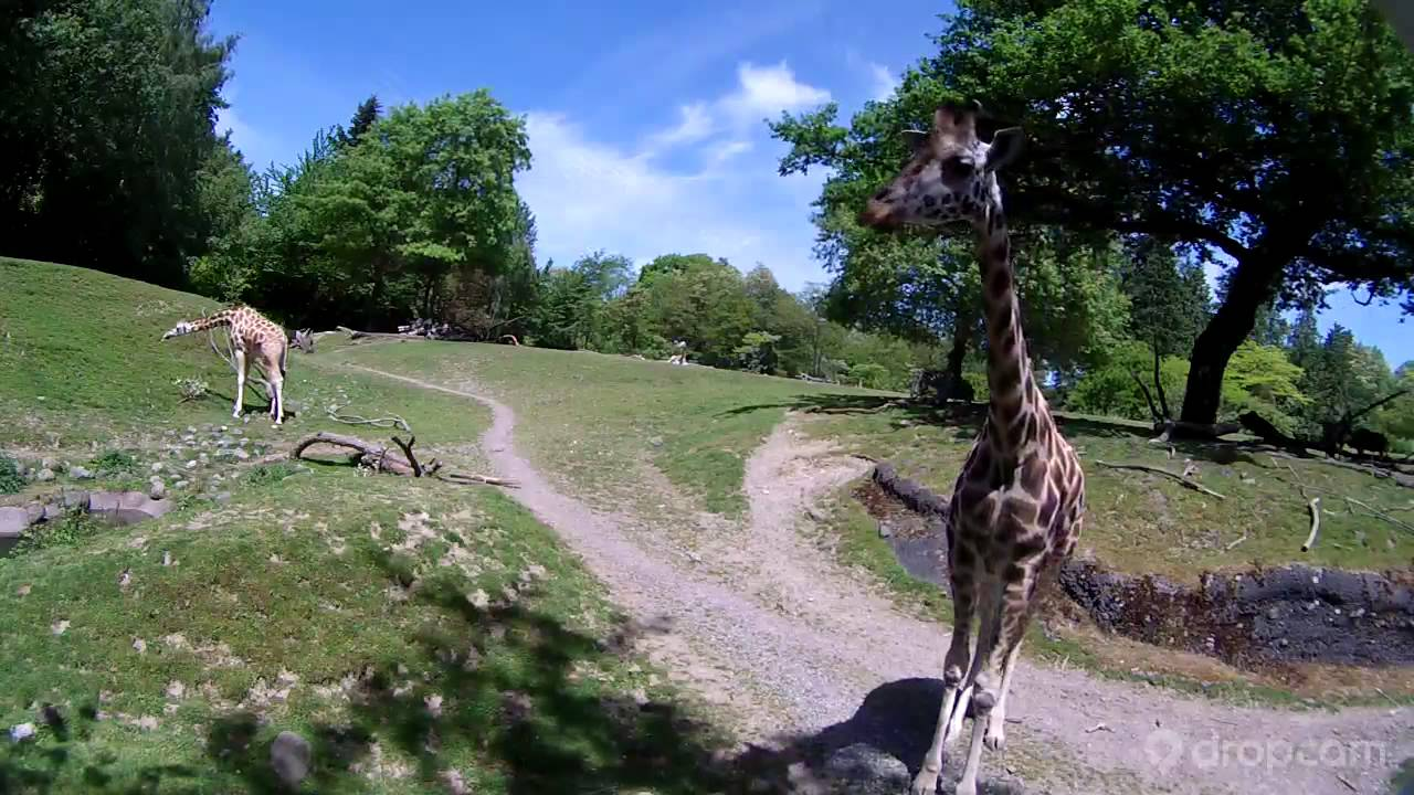 Giraffe Checks Out The New Savanna Cam At Woodland Park Zoo
