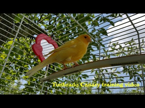 Timbrado Canary Training Video (Natural environment)