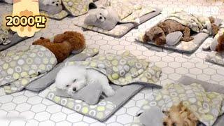 유치원에서 단체 낮잠자는 개린이들ㅋㅋㅋㅋ(박보검도 다님) l Puppies Enjoy Nap Time In The Kindergarten LOL thumbnail