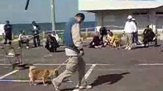 さくらちゃんが歩様審査をしている様子です。 柴犬広場 http://shiba-do...