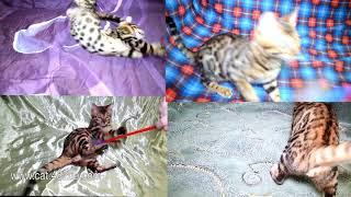 Очень веселы бенгальский котенок   задорно!