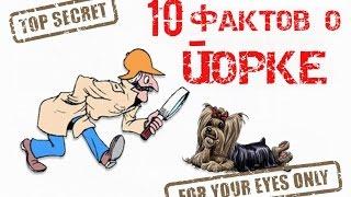 TAG: 10 фактов о йоркширских терьерах (йорках)
