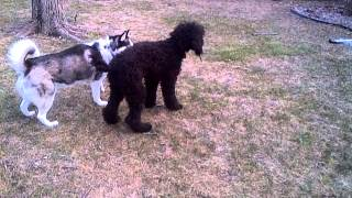 Husky And Poodle Playing