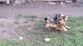 Рекс гоняется за своим хвостом))) (dog running after its tail)