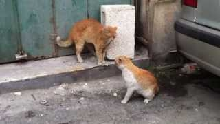 Most vicious cat fight you will see!
