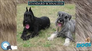 Standard Schnauzer  Everything Dog Breeds