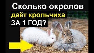 Сколько окролов в год получают от крольчихи оптимально? Пауза между окролами сколько дней?