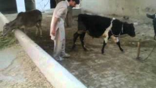 Cattle Farm, Vehari, Pakistan