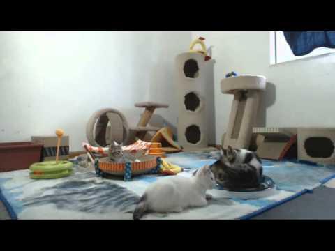 Babylon 5 Kittens - Meerish Susan