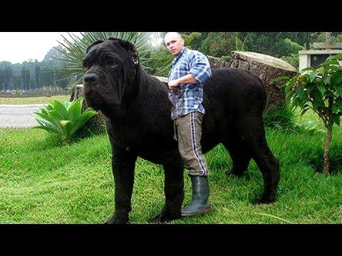TOP 10 BIGGEST GUARD DOGS IN THE WORLD 2016 - YouTube
