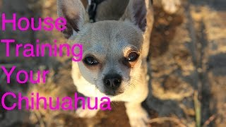 Chihuahua Potty Training - House Training Your Chihuahua