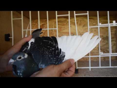 Racing pigeon for sale 2016 - 100% Jan Aarden hen (880 - 2007)