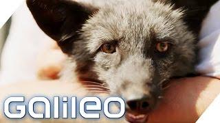 Fuchs als Haustier  Galileo  ProSieben