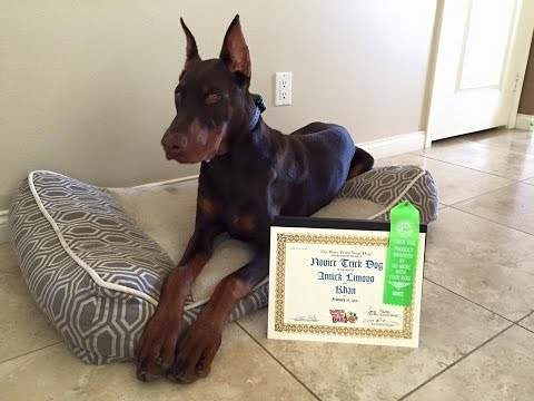 Khan the Incredible Doberman | Novice Trick Dog Title