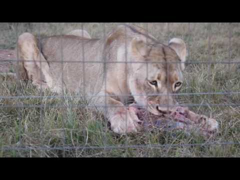 Glen Afric | South Africa 2016 (Living With Big Cats)