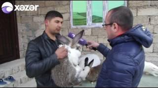 Bakıda 500 manata dovşan satılır