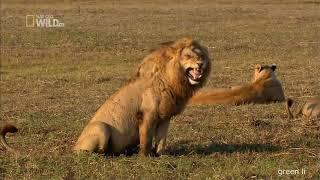 подборка приколов с животными - коты собаки львы еноты #148   greenli