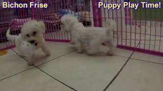Bichon Frise, Puppies, For, Sale, In, Badger, County, Alaska, Ak, Kink Fairview, College