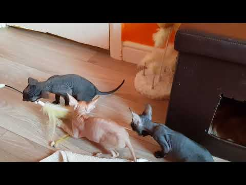 Cornish rex kittens 01.05.18