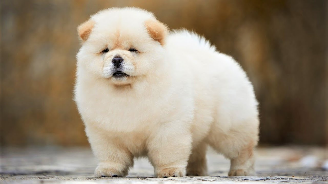 Top 10 Cutest Dog Breeds In The World Youtube