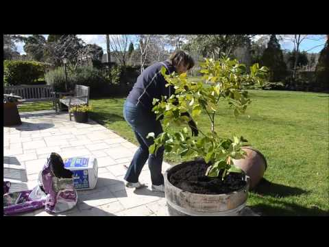 Repotting a Lemon Tree