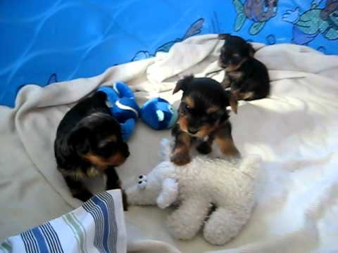 Yorkie Puppies Gone Wild One Month Old Yorkies Youtube
