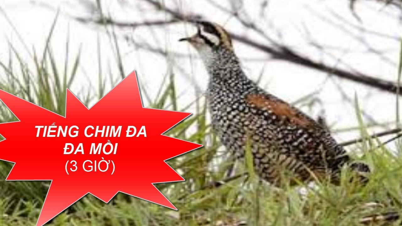 Tiếng chim mồi – Tiếng Chim Đa Đa Gáy Cực Hay 3 giờ
