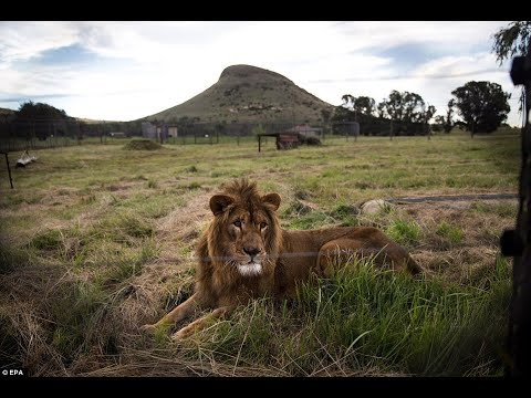 lions-rescued-from-zoos-in-syria-and-iraq's-war-zones-are-safe-at-last-after-arriving-at-their