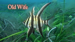 オールドワイフ  Old Wife 水中映像 Enoplosus armatus オーストラリアの固有種