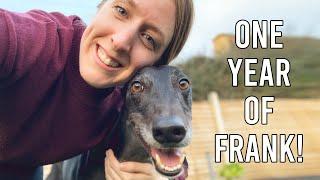 1 YEAR UPDATE ON MY GREYHOUND FRANK | Coat, Weight, Temperament & more!