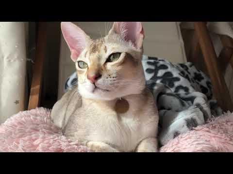 眠そうなじゅにさんの邪魔する   Singapura cat sleepy